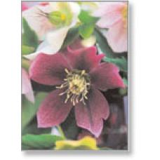 Mini Gift Card Hellebores